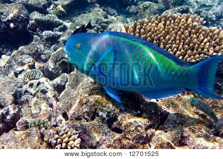 Indian ocean. Fishes in corals. Maldives