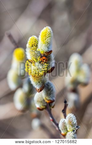 Goat willow (Salix caprea L.). Ladybug on a flower willow