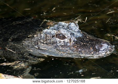 Chinese Alligator (Alligator sinensis) semi-submerged in some murky water. Its body is hidden with its eyes and parts of the head visible above water.