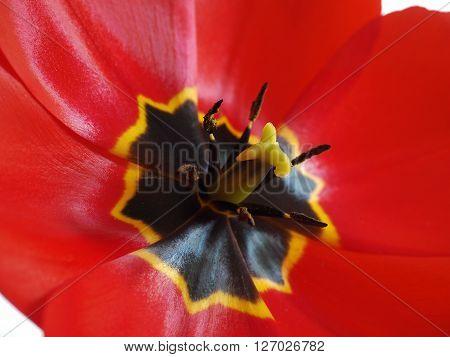 Bright red open tulip closeup with shiny petals