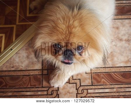 the little short-haired Pekinese lies on linoleum with geometrical drawing