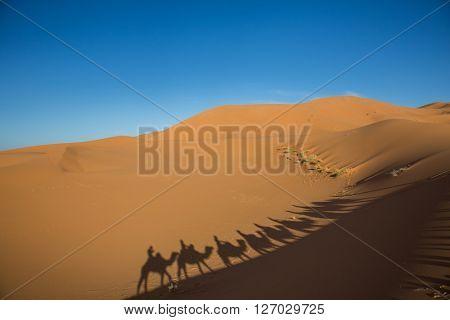 Camal caravan on a Nomad trip through sand desert