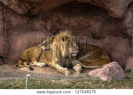 Lion King - Lion and Lioness in Toronto Zoo