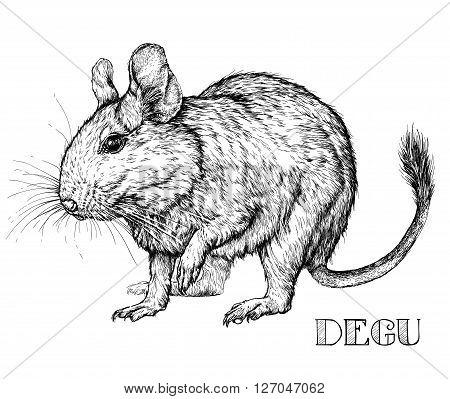 Sketch of Degu rodent pet. Vector Illustration
