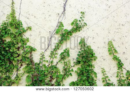 branches of the plant on the building wall