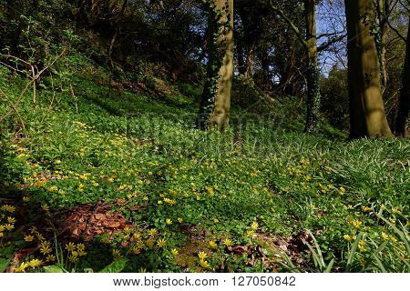 A carpet of Lesser Celandines (Ficaria Verna) in a UK wood in spring