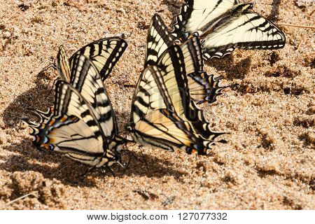 Some thirsty Canadian Tiger Swallowtail butterflies drinking water from the wet sand at the shore of a lake