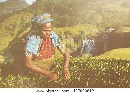Indigenous Sri Lankan Tea Picker Picking Tea Concept