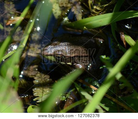 Frog Hiding in water and grass to stay cool and safe