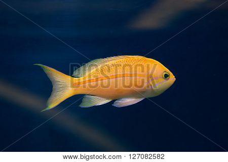 Sea goldie (Pseudanthias squamipinnis), also known as the lyretail anthias. Wild life animal.