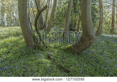 Carpet of bluebells cascading through an ancient wood
