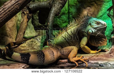Green iguana - Iguana iguana- also known as Common iguana or American iguana is a large arboreal mostly herbivorous species of lizard of the genus Iguana native to Central South America and the Caribbean. Animal portrait. Beauty in nature.