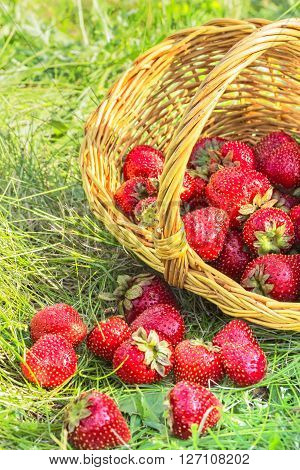 Overturned basket with red ripe strawberries in the green grass in evening sunlight