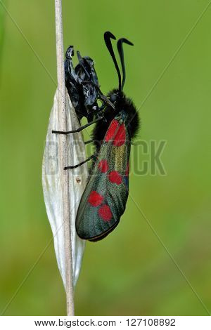 Six-spot burnet (Zygaena filipendulae) after emerging. A freshly emerged moth in the family Zygaenidae on grass next to an old cocoon and exuvium of chrysalis, in a British meadow