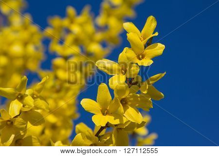 blooming forsythia branches and bright blue sky. Selective focus.