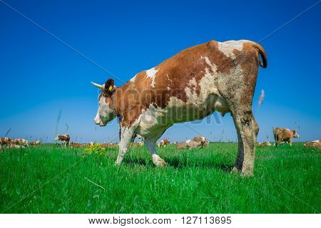 Cow on a green  summer pasture with blue sky
