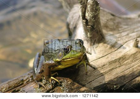 this is a frog on a log near a lake. poster