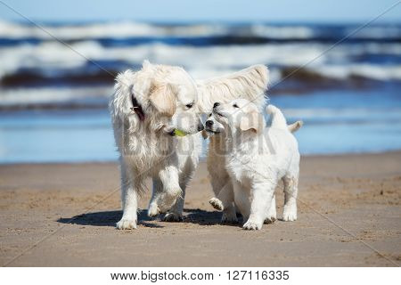 golden retriever dog with her puppies on the beach