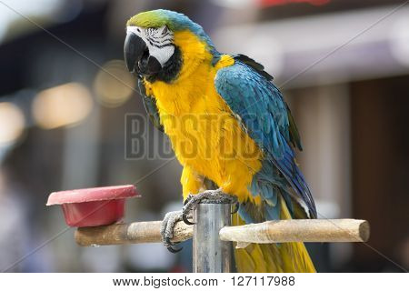 Blue And Yellow Colored Parrot On A Stick