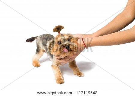 Little Yorkie pup playing with groomer's hand - isolated on white and with shadow on the floor