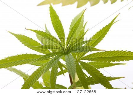 Fresh Marijuana Plant Leaves On White Background