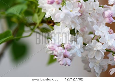 White and pink liliac flower blooming over green nature background close up