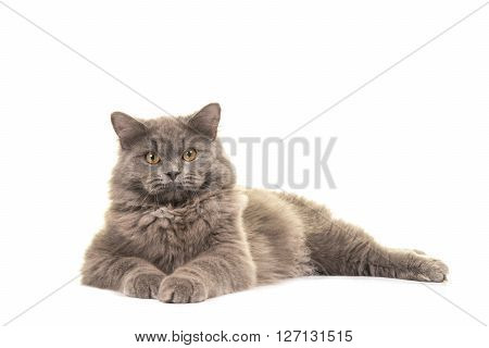 Pretty grey British longhair cat lying on the floor facing the camera isolated on a white background