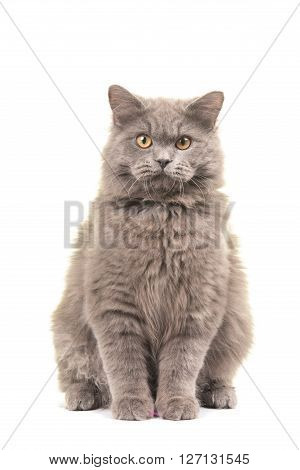 Pretty sitting british longhair cat looking straight in the camera isolated on a white background