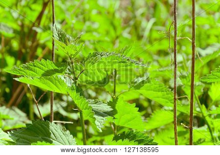 stinging nettle - urtica dioica. hungarian countyside