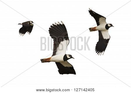 Black and white bird flying isolated on white background, Northern lapwing