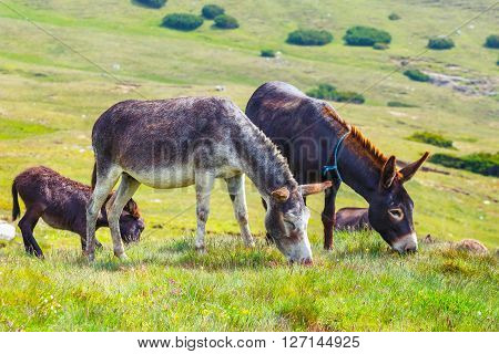 Drove Of Donkeys Resting In The Green Meadow