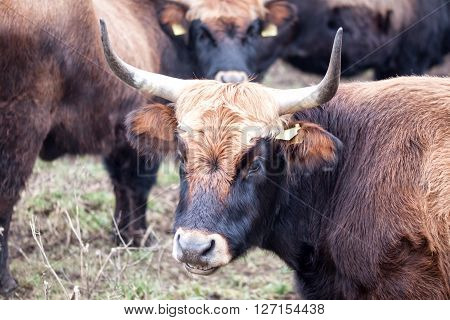 Portrait of aurochs in the midst of the flock