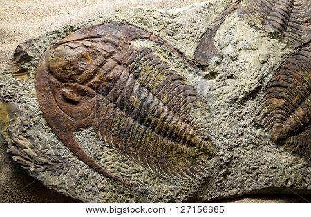 Jurassic Fossilized, prehistoric, pyrite, regis, jurassic, lyme