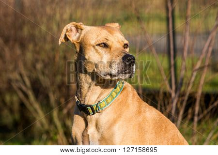 Mixed Pitbull And Labrador Portrait