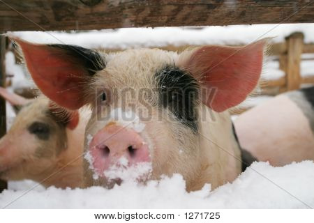 Pig, Piglet
