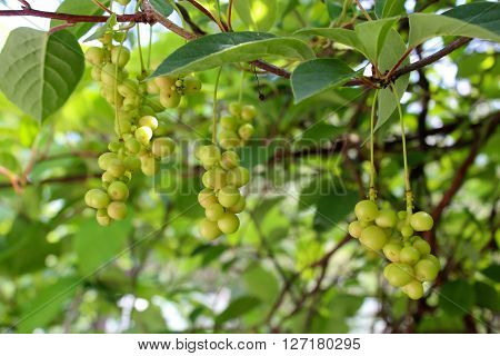 branches of schisandra with green not ripe berries in the process of growth