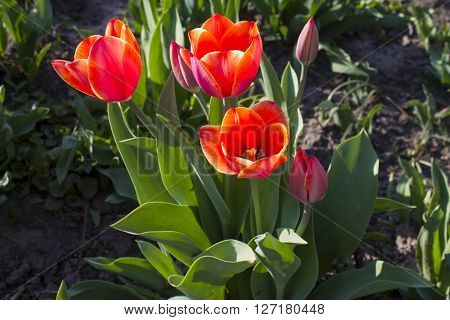 Tulip spring flower bouquet green white easter nature blossom fresh.