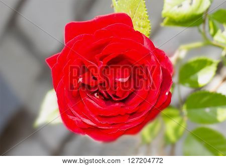 One Beautiful Red Rose In A Garden