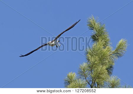 The osprey takes off in flight from the top of a tree in Fernan Idaho.