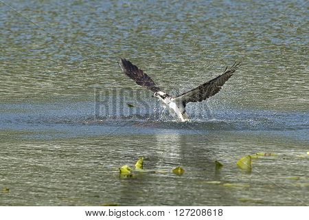 Osprey flies out from water in Fernan Lake Idaho.