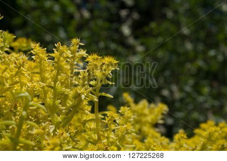 Lemon Coral Sedum Flowers fragrant beautiful yellow. Very abundant with yellow stems and leaves. Attactive to honeybees