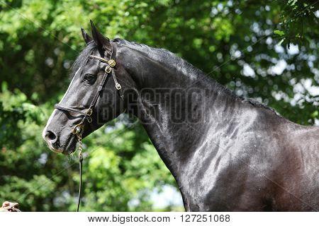 Amazing Black Welsh Part-bred Stallion