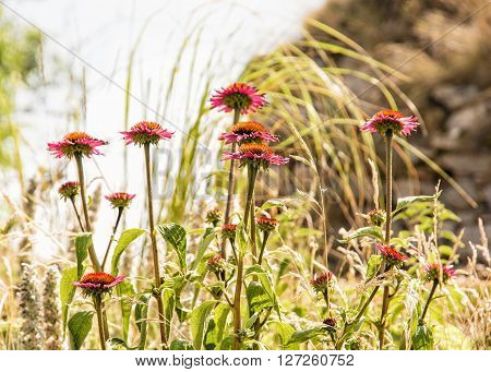 Beautiful Echinacea flowers in outdoors - purple coneflowers. Natural scene. Beauty in nature. Seasonal natural scene. Sunny day. Daisy family.