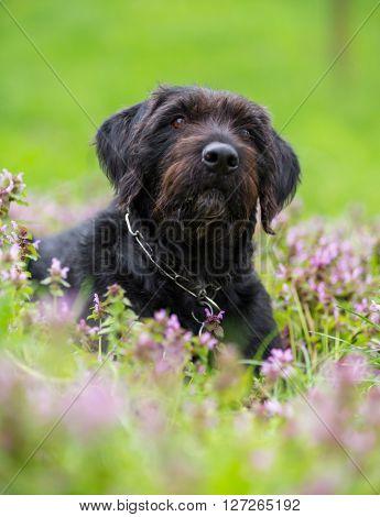 Beautiful black dog posing on spring meadow, close-up.