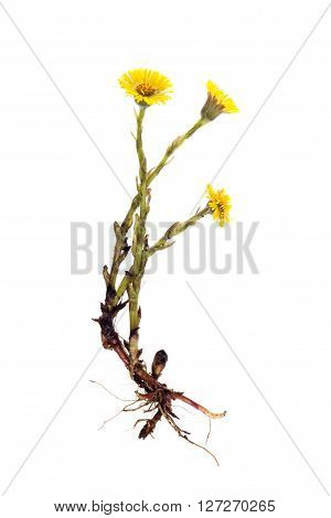 mother-and-stepmother (Tussilago) with root on white background,green plant on a white background