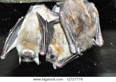 Bats Just Hanging Around