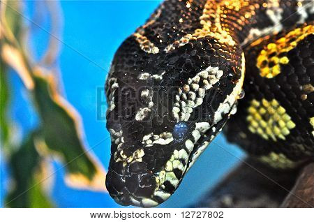 Python Snake Close Up