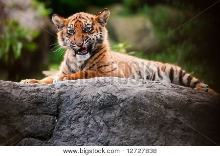 Cute Sumatran Tiger Cub