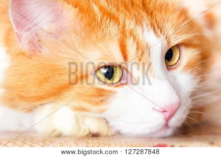 Nice pensive portrait of adult red cat