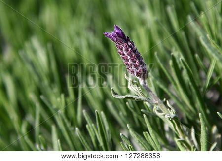 Lavender flower Lavandula angustifolia bush